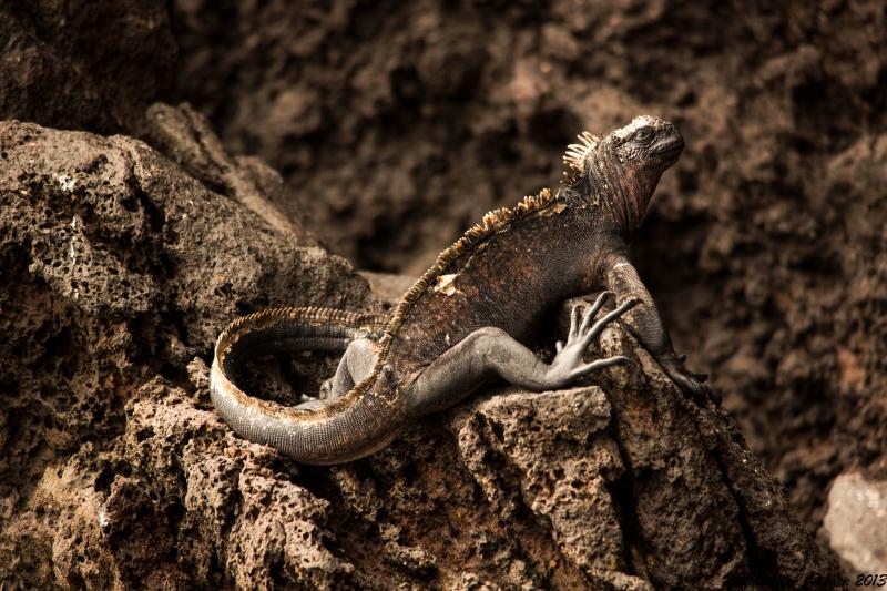 GalapagosIguan
