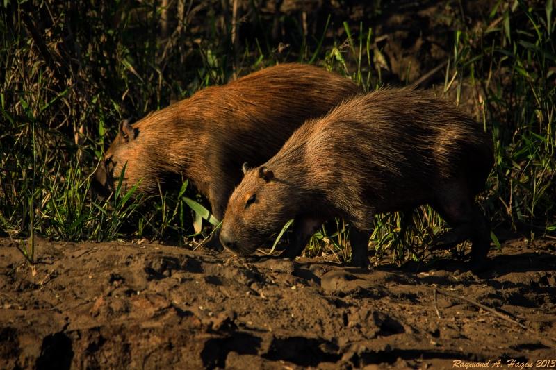 capybara-seaside-tambopata