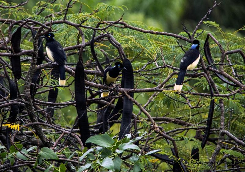 Plush crested jays Iguazu