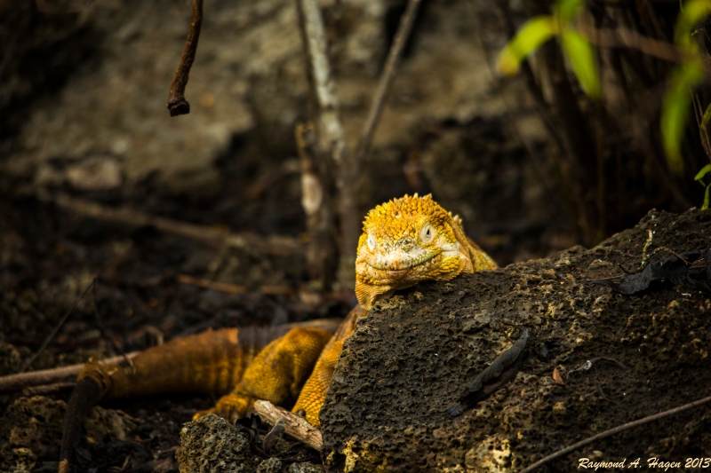 yellowIguana