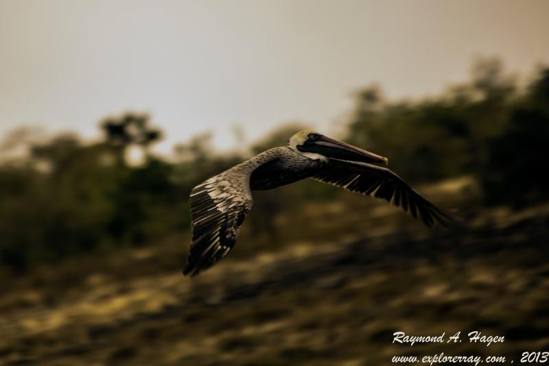pelicanAtSpeed