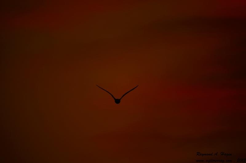 seagullNight