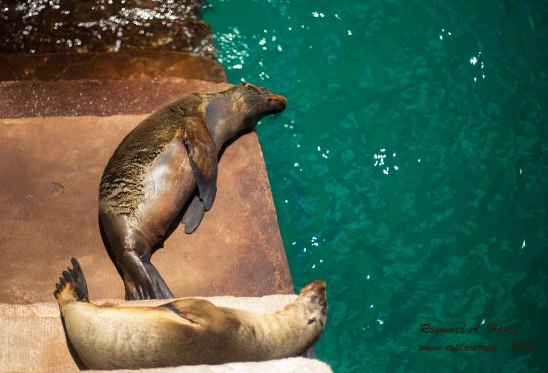 SeaLionSleeping