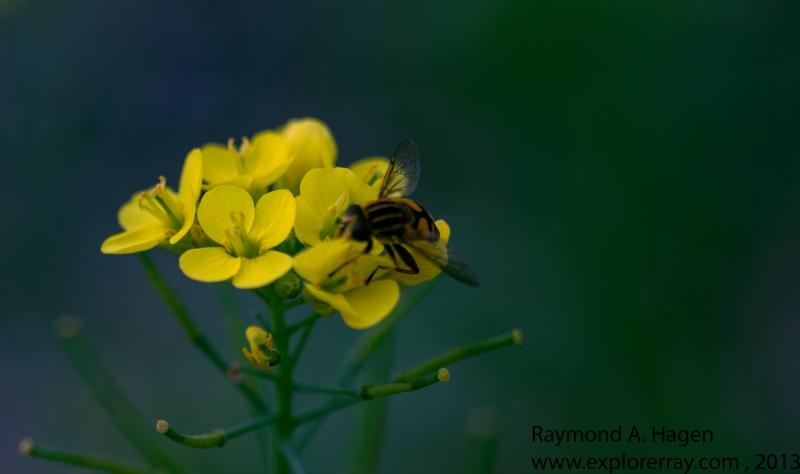 yellowFloverMacro