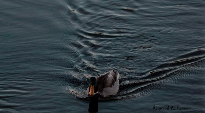 A duck …