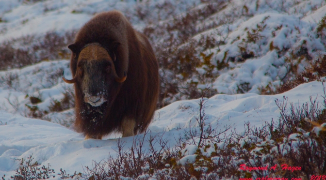Picture of the day: A muskox in Winter Norway