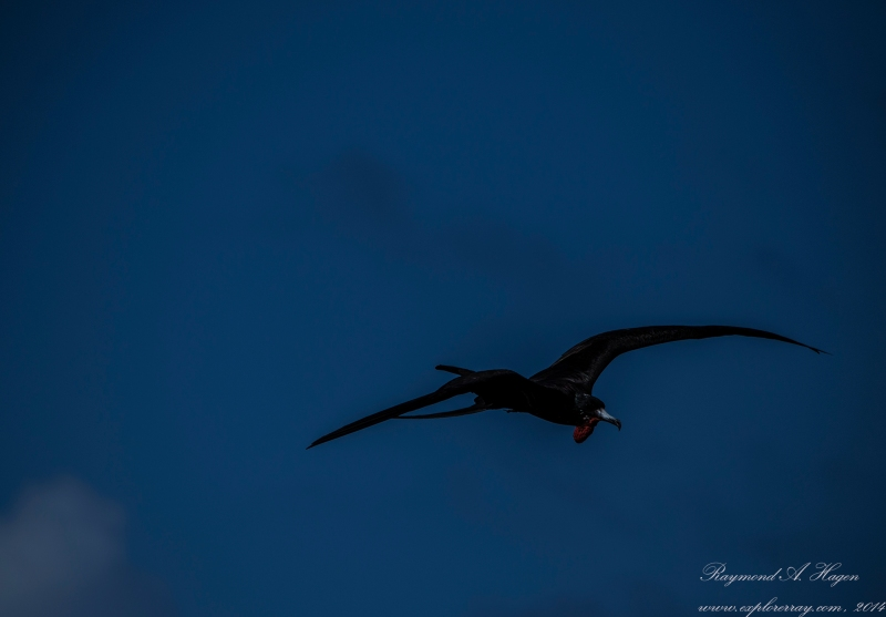 FrigateBird-blue-sky-downsized