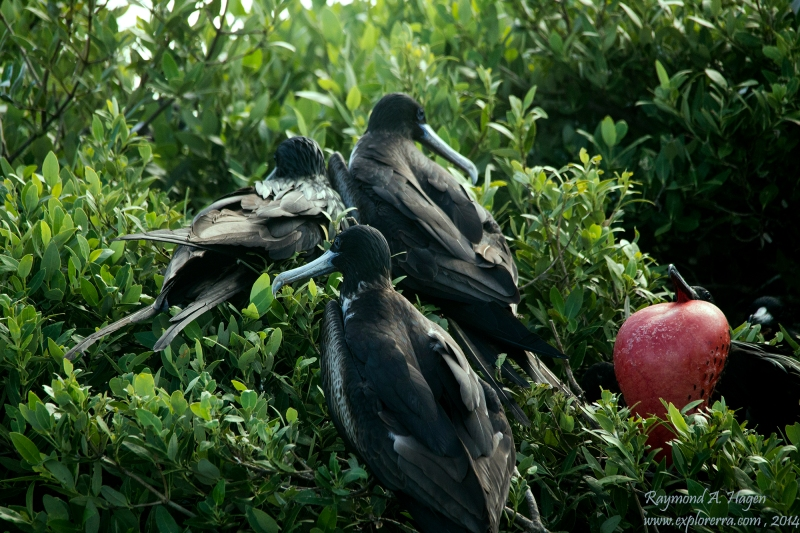 frigateBirds-downsized