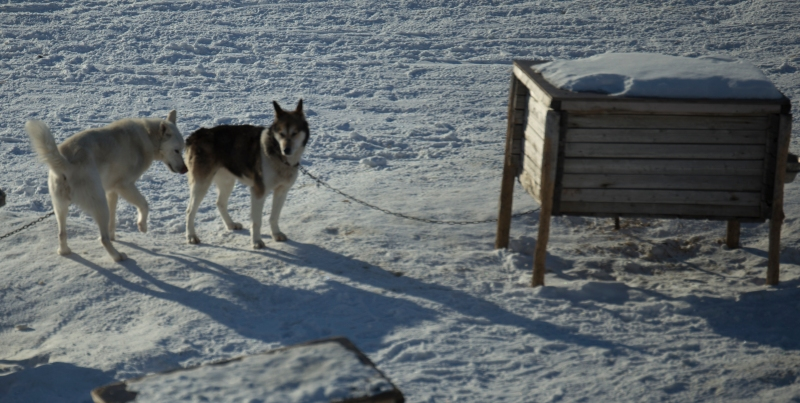 dogyard-Svalbard